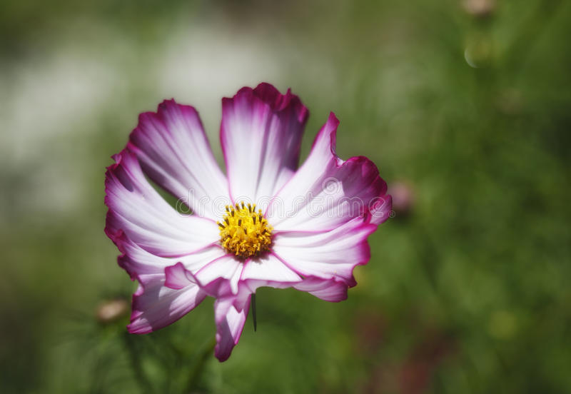 Colorful Magenta and White Cosmos stock photos