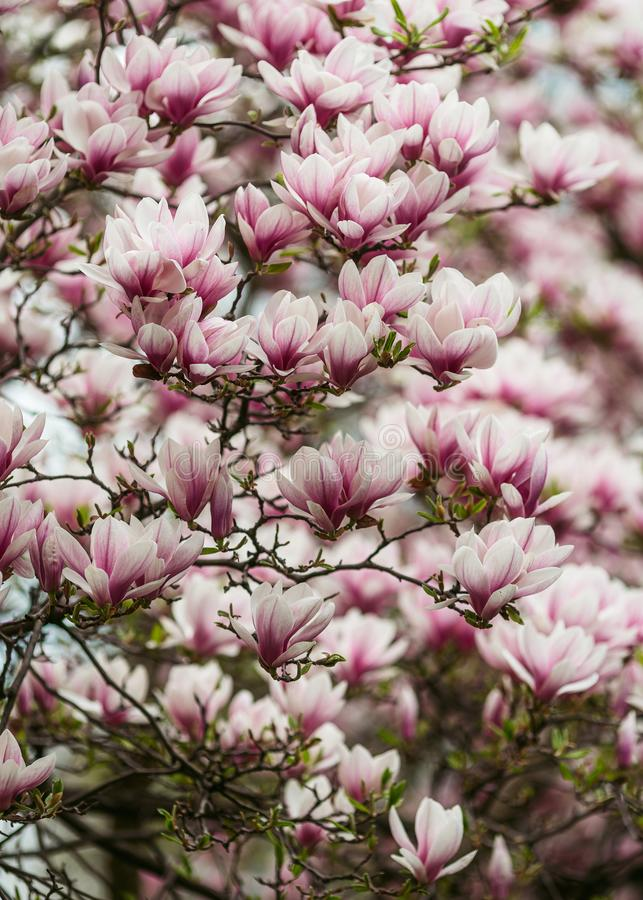 Colorful magnolia tree colors. а fresh colorful magnolia tree colors in cloudy day in Salzburg royalty free stock images