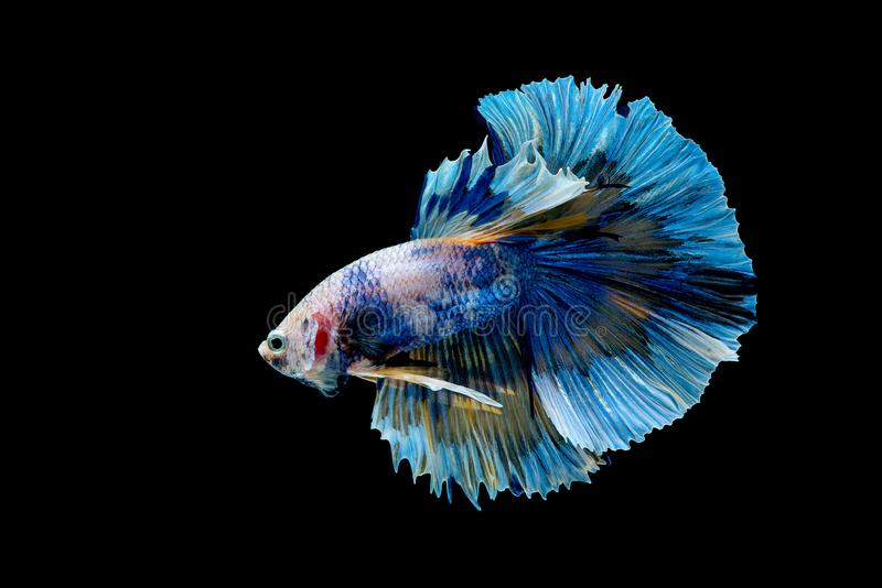 Colorful with main color of blue betta fish, Siamese fighting fish was isolated on black background. Fish also action of turn head stock image