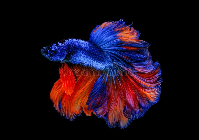 Colorful with main color of blue and red betta fish, Siamese fighting fish was isolated on black background. Fish also action of. Turn head in different royalty free stock photography