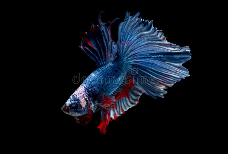 Colorful with main color of blue red and white betta fish, Siamese fighting fish was isolated on black background. Fish also. Action of turn head in different stock photos