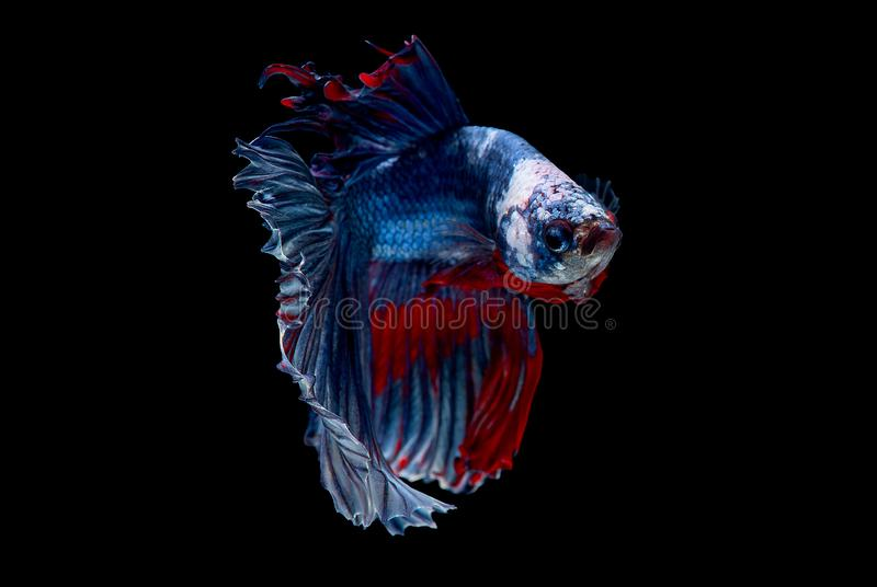 Colorful with main color of blue red and white betta fish, Siamese fighting fish was isolated on black background. Fish also. Action of turn head in different stock images