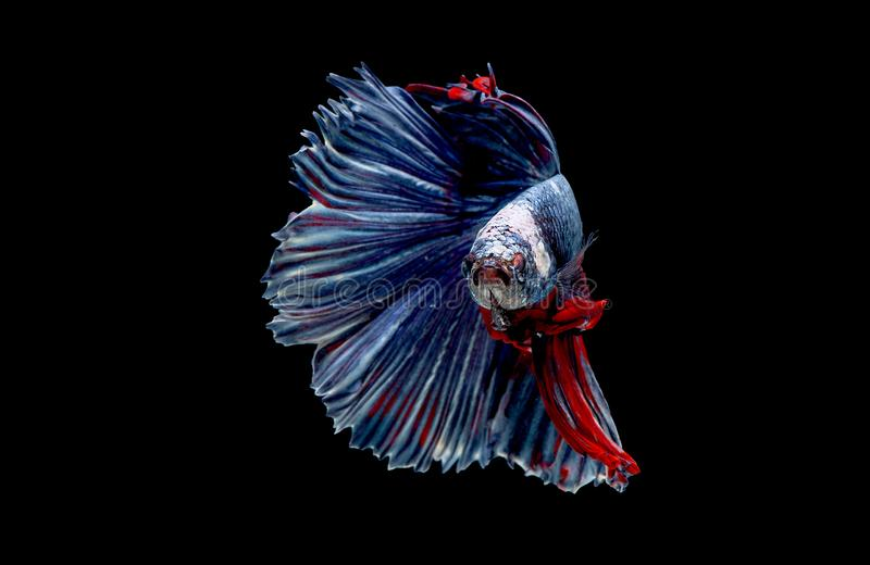 Colorful with main color of blue red and white betta fish, Siamese fighting fish was isolated on black background. Fish also. Action of turn head in different royalty free stock photography