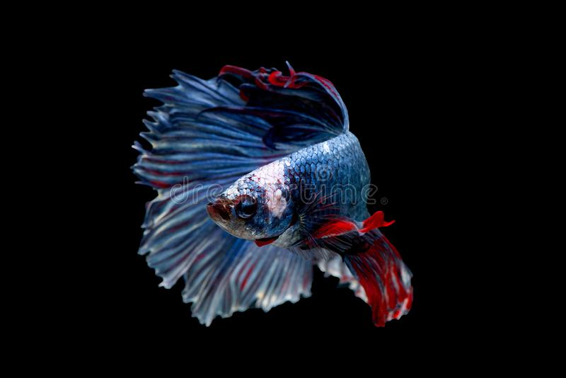 Colorful with main color of blue red and white betta fish, Siamese fighting fish was isolated on black background. Fish also. Action of turn head in different royalty free stock images
