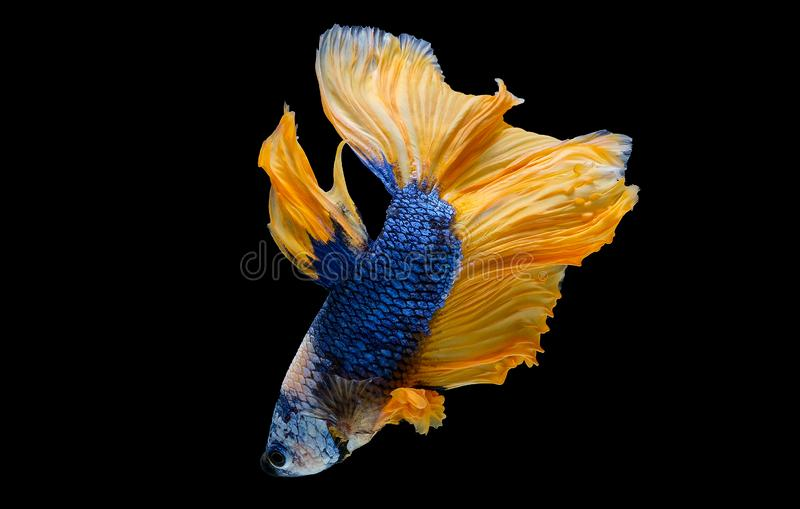 Colorful with main color of dark blue, white and yellow betta fish, Siamese fighting fish was isolated on black background.  stock image