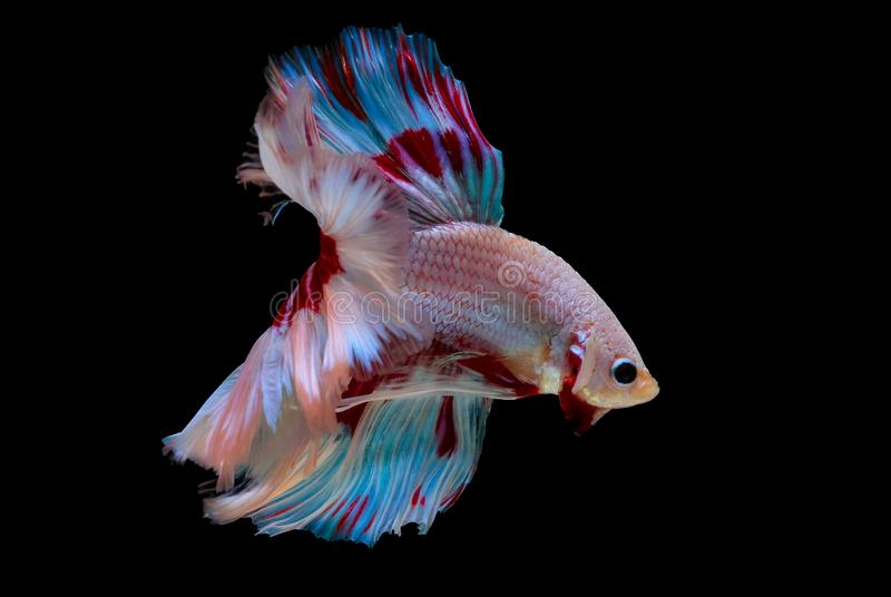 Colorful with main color of light pink, blue and red betta fish, Siamese fighting fish was isolated on black background. Fish also. Action of turn head in stock photo