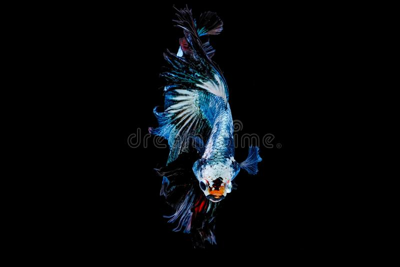 Colorful with main color of metal green and white betta fish, Siamese fighting fish was isolated on black background. Fish also. Action of turn head in stock photography