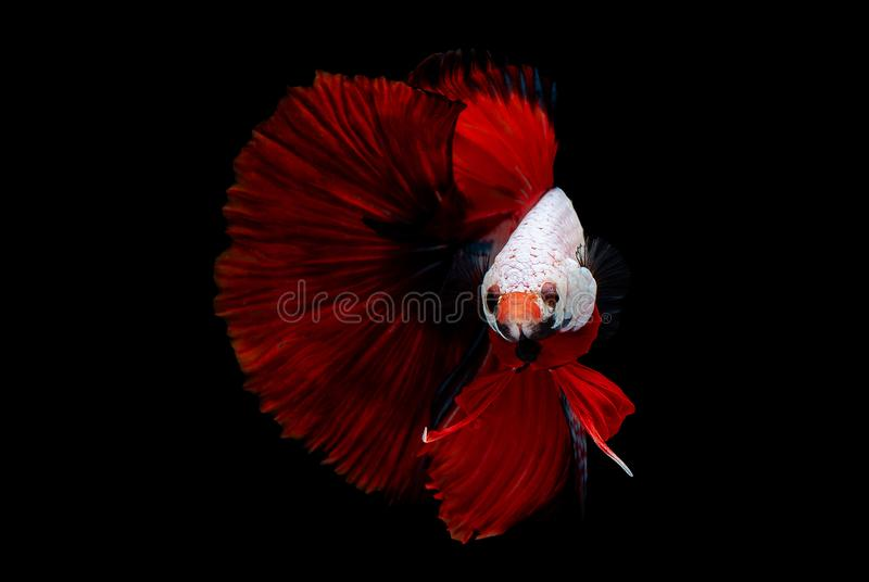 Colorful with main color of metallic white head and red tail betta fish, Siamese fighting fish was isolated on black background.  stock photography