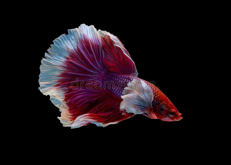 Colorful with main color of red and pink betta fish, Siamese fighting fish was isolated on black background. Fish also action of. Turn head in different stock photos