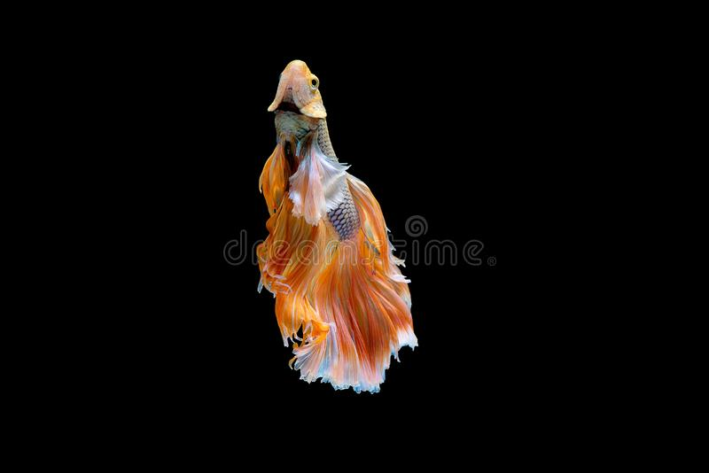 Colorful with main color of white and yellow betta fish, Siamese fighting fish was  on black background. Fish also action. Of turn head in up direction during royalty free stock photography