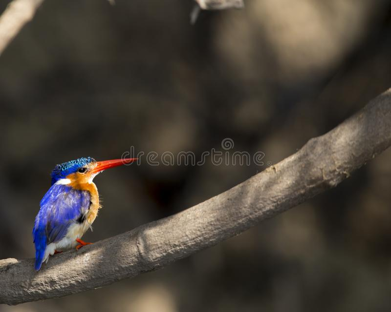 Colorful malachite kingfisher. In NW Botswana royalty free stock photography