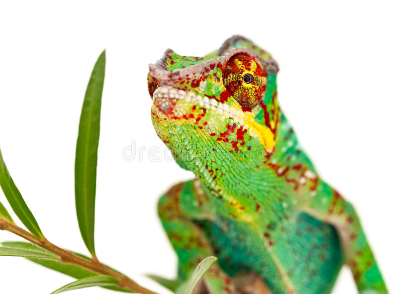 Colorful male Chameleon. On plant, isolated on white background