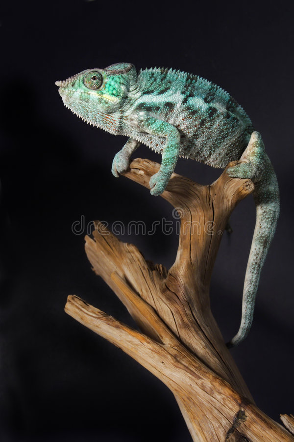 Download Colorful male chameleon stock image. Image of colorful - 4202625