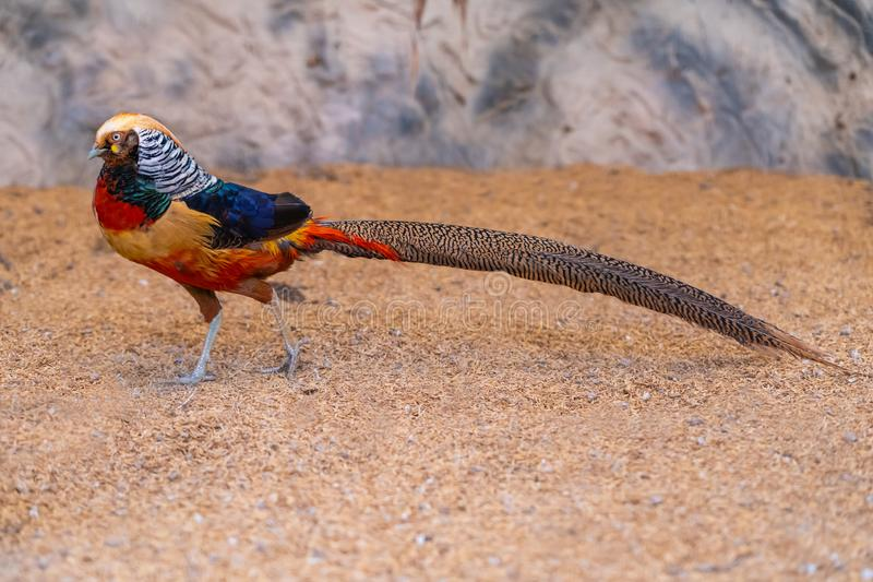 Colorful male Golden pheasant showing off its colorful plumage. Chiang Mai, Thailand royalty free stock photo