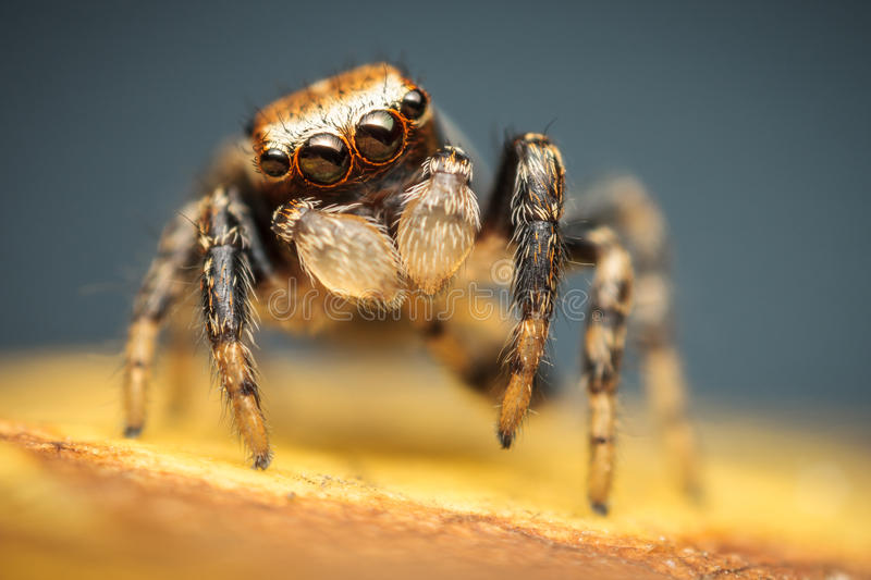 Colorful male jumping spider royalty free stock images