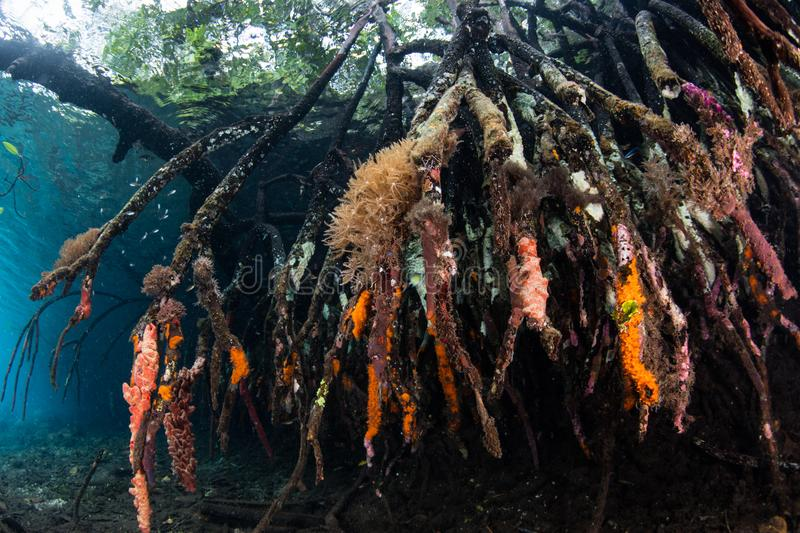 Colorful Mangrove Forest Underwater in Raja Ampat. Prop roots are covered by colorful sponges and corals in a blue water mangrove forest in Raja Ampat, Indonesia stock photography