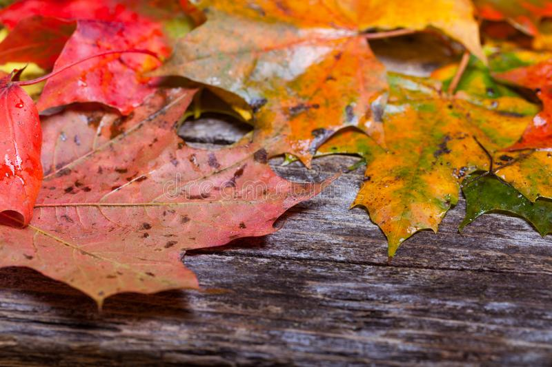 Maple foliage on the able. Colorful maple foliage on the vintage wooden table royalty free stock photos