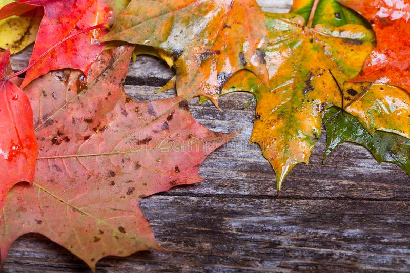 Maple foliage on the able. Colorful maple foliage on the vintage wooden table royalty free stock photo
