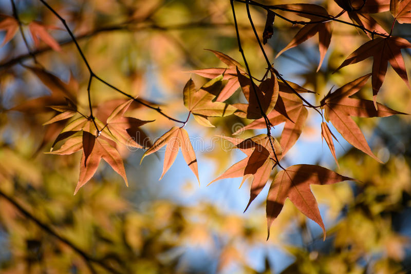 Colorful maple leafs backlit against the color of Autumn forest stock images