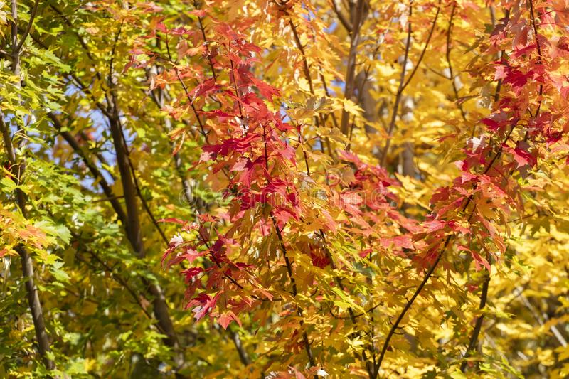 Colorful maple leave tree stock photo