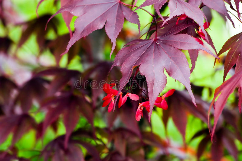 Download Colorful Maple Leaves Royalty Free Stock Photography - Image: 9965587