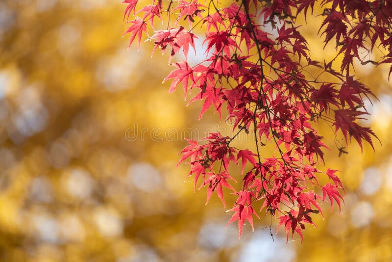 Colorful maple leaves autumn season on nature background royalty free stock photos