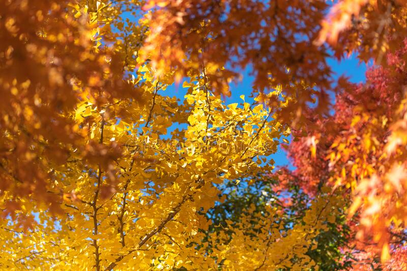 Colorful maple leaves autumn season on nature background royalty free stock images