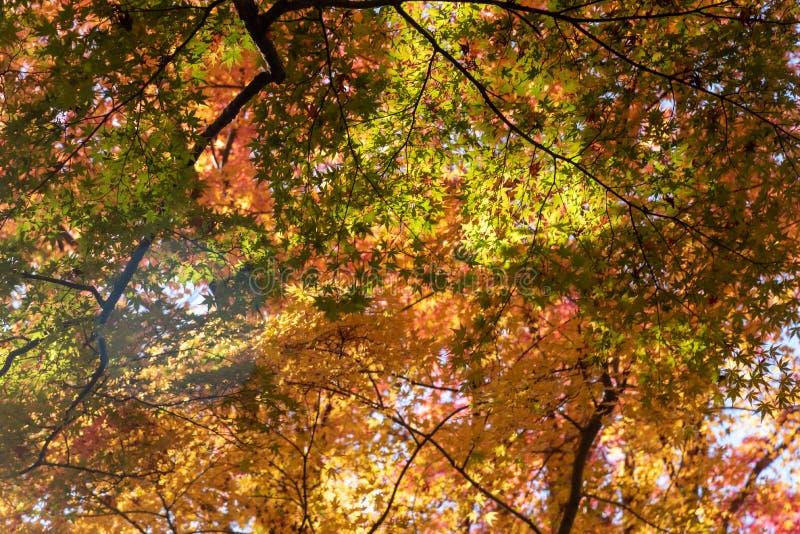 Colorful maple leaves autumn season on nature background stock photo