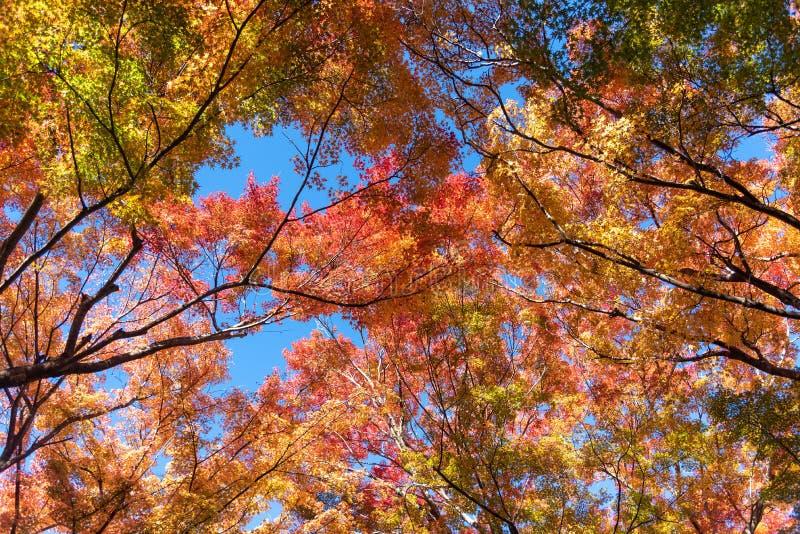 Colorful maple leaves autumn season on nature background stock image