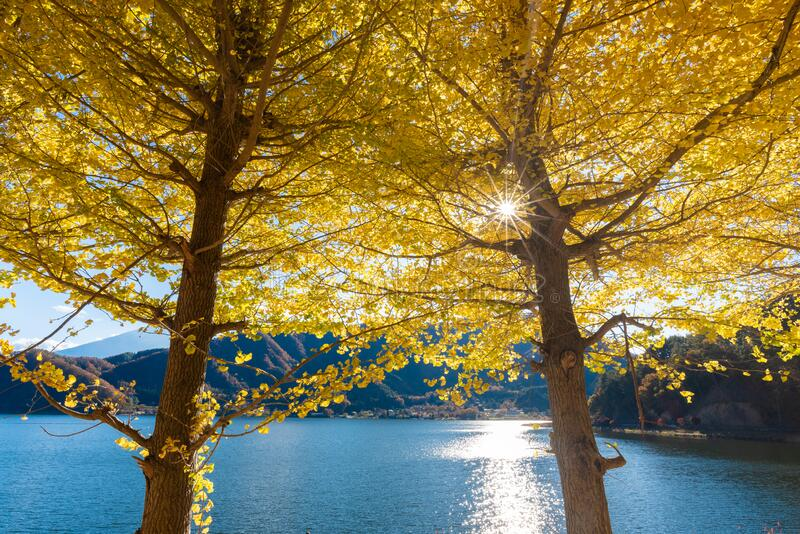 Beautiful yellow ginko leaves in autumn with blue sky background royalty free stock images