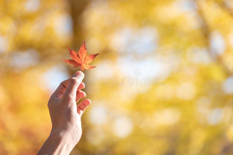 Selective hand holding maple leaf on colorful maple leaves nature background in autumn season with copy space royalty free stock image