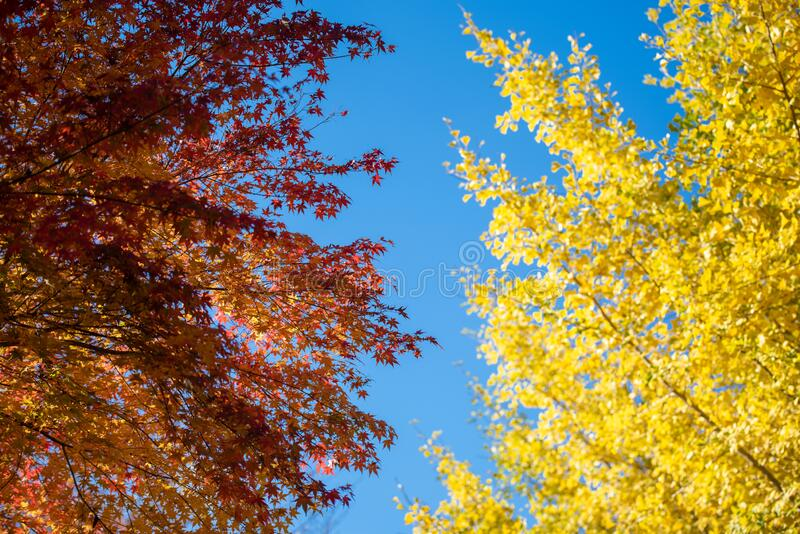 Colorful maple leaves autumn season on nature background royalty free stock photography