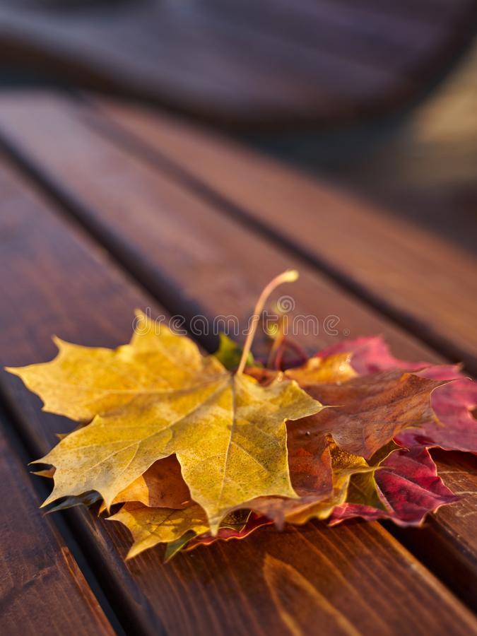 Colorful maple leaves on burgundy curved modern bench in city park. Fall season. Autumn landscape royalty free stock images
