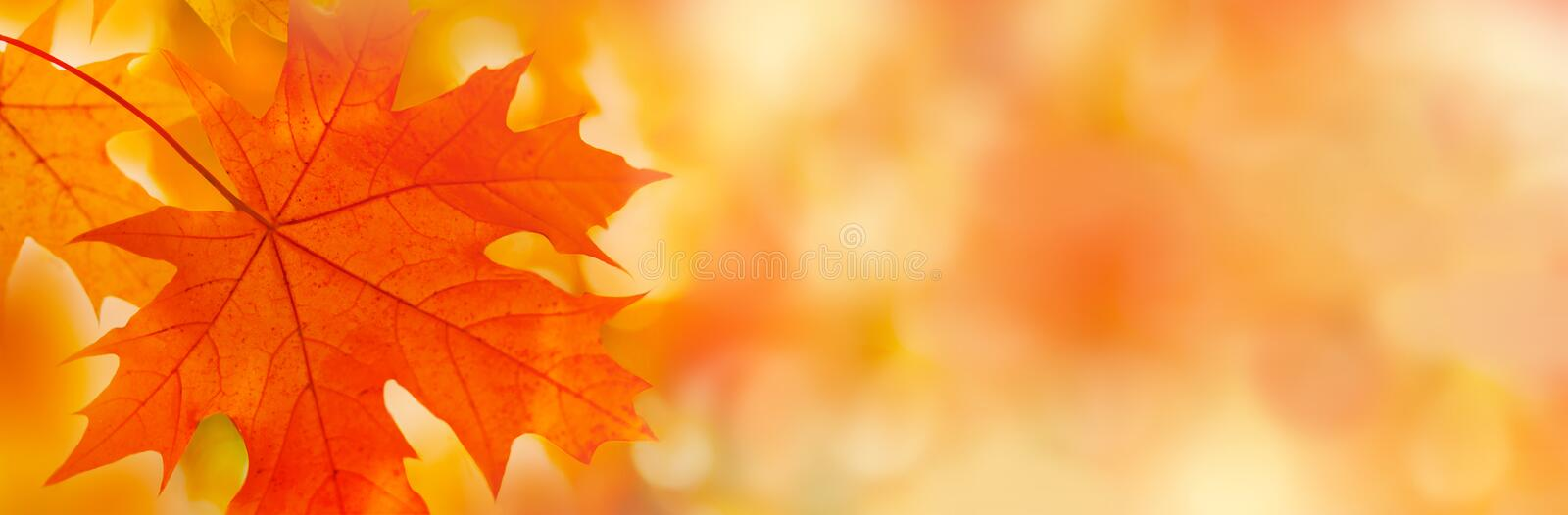 Colorful maple leaves close-up on the blurry background. Bright autumn foliage background. Fall panoramic backdrop.  Copy space for your text royalty free stock photos
