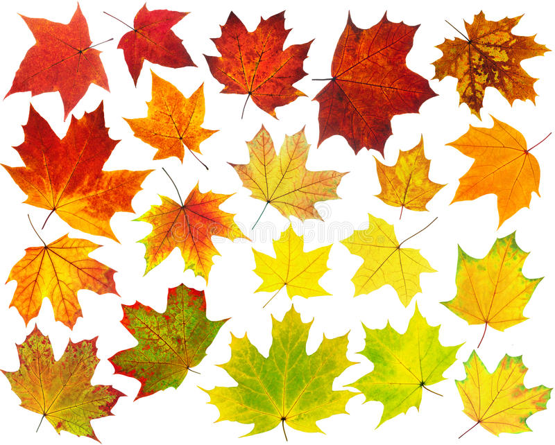 Download Colorful maple leaves stock photo. Image of orange, assortment - 33457136