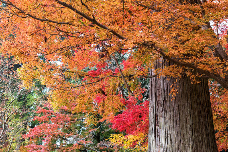 Colorful of maple leaves and giant tree in autumn stock image