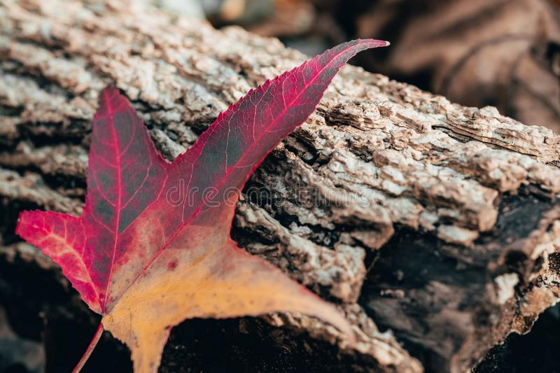 Colorful maple tree leaf lay on tree trunk in autumn, fall royalty free stock photos
