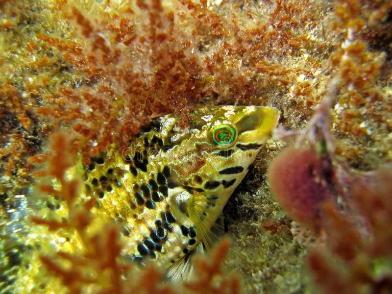 Colorful mediterranean wrasse fish stock image