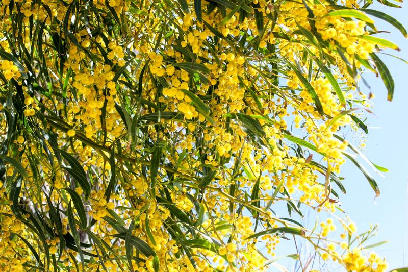 Colorful mimosa in bloom royalty free stock photography