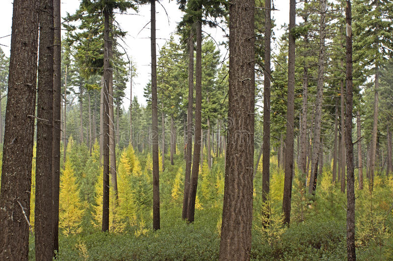 Colorful Mixed Pine Tree Forest stock photography