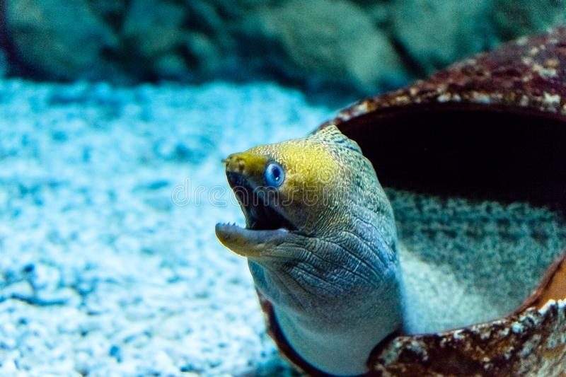 A colorful moray eel with open mouth. Coming out from the shell royalty free stock photos