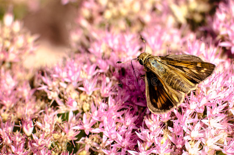 Colorful moth on pink flowers. A colorful moth closeup sitting on pink flowers stock photography