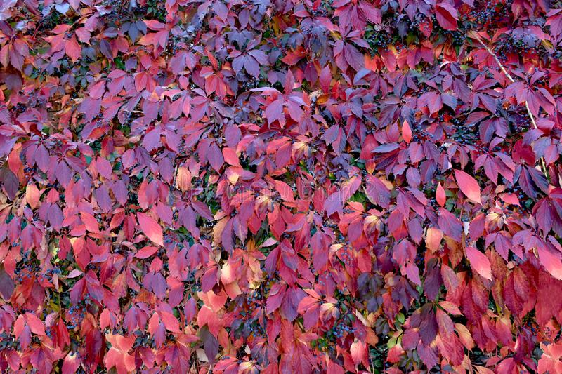 Colorful motley autumn leaves of wild grapes on a wall or fence. Red natural background and texture of autumn leaves royalty free stock photo