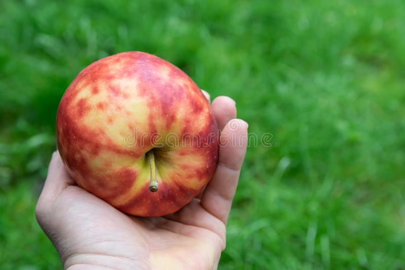 Colorful mottled apple in the hand of a man. Large,ripe,colorful mottled apple in the hand of a man on a natural green background royalty free stock photos