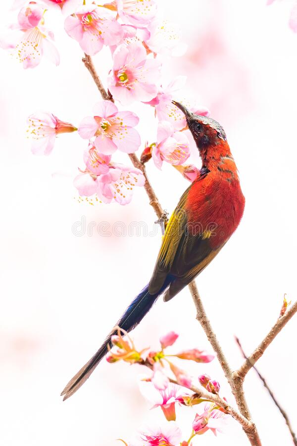 Colorful Mrs. Gould's Sunbird on blooming wild himalayan cherry. Chiang Mai, Thailand stock photography