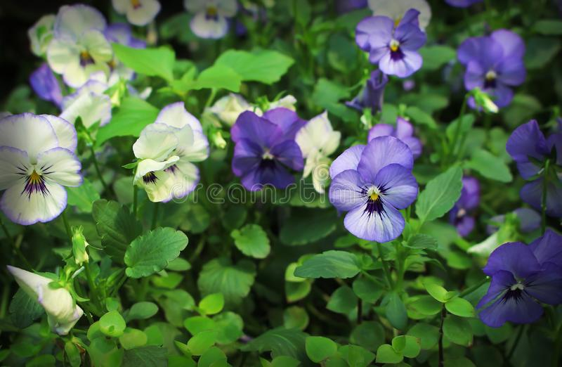Colorful multicolored pansy viola flowers blooming in garden. Close up Colorful multicolored pansy viola flowers blooming in garden stock photos