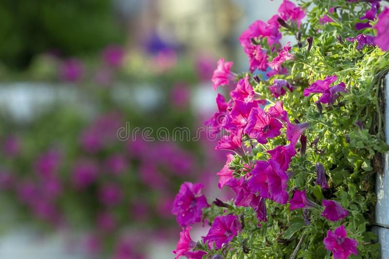 Colorful multiflora petunias in an wooden planter window box royalty free stock photography
