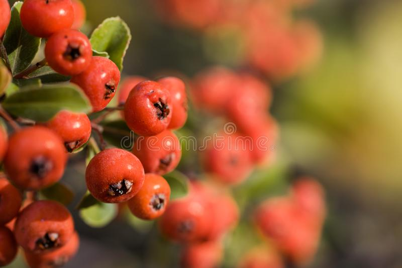 Red autumn berries of red Firethorn. Autumn beautiful background stock image