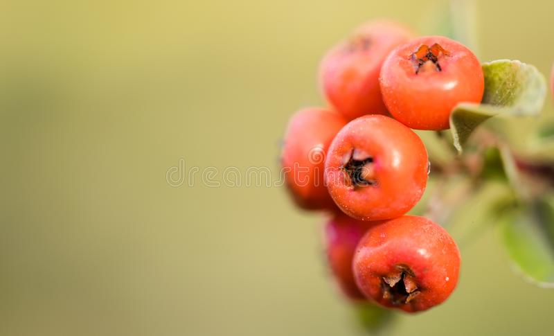 Red autumn berries of red Firethorn. Autumn beautiful background stock images