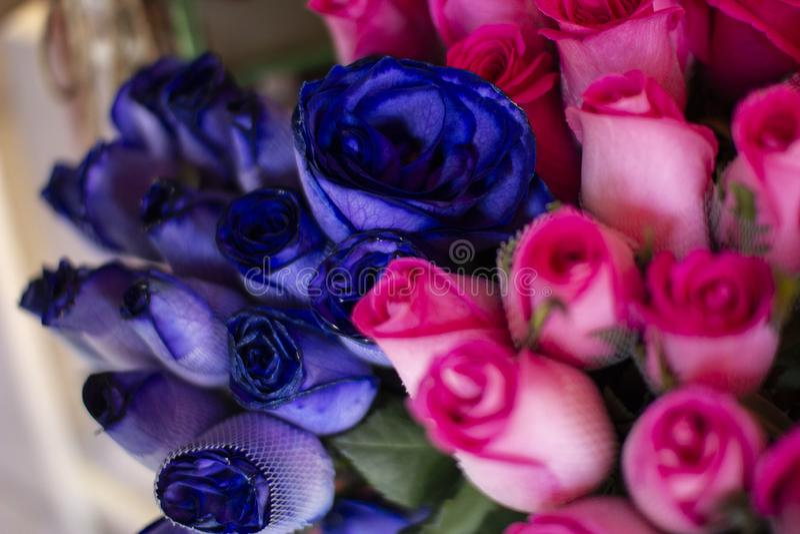 Colorful natural fresh blue and pink roses at florist shop royalty free stock image